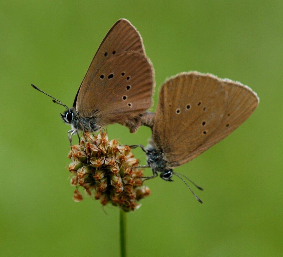 Fotografia przedstawia dwa beżowe motyle ze złożonymi skrzydłami, kopulujące na pojedynczym kwiatostanie krwiściągu lekarskiego. To modraszki telejusy.