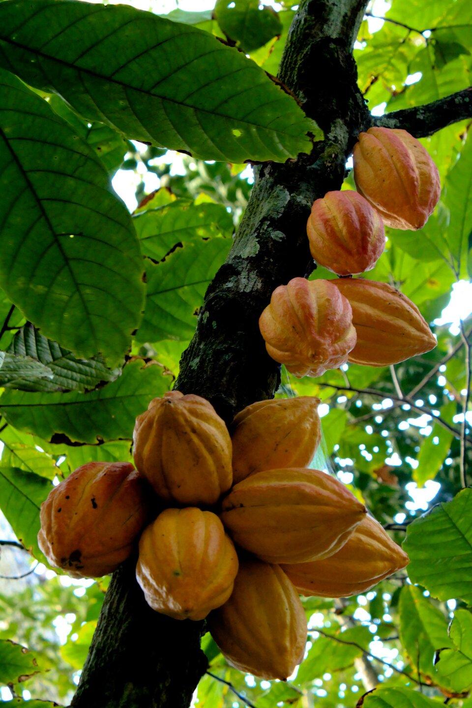 Na ilustracji owoce kakaowca wyrastające wprost zpnia. Owalne pomarańczowe jagody, bruzdkowane okształcie przerośniętego ogórka. Okryte grubą łupiną. Liście podłużne jajowate, szerokolancetowate, skórzaste.