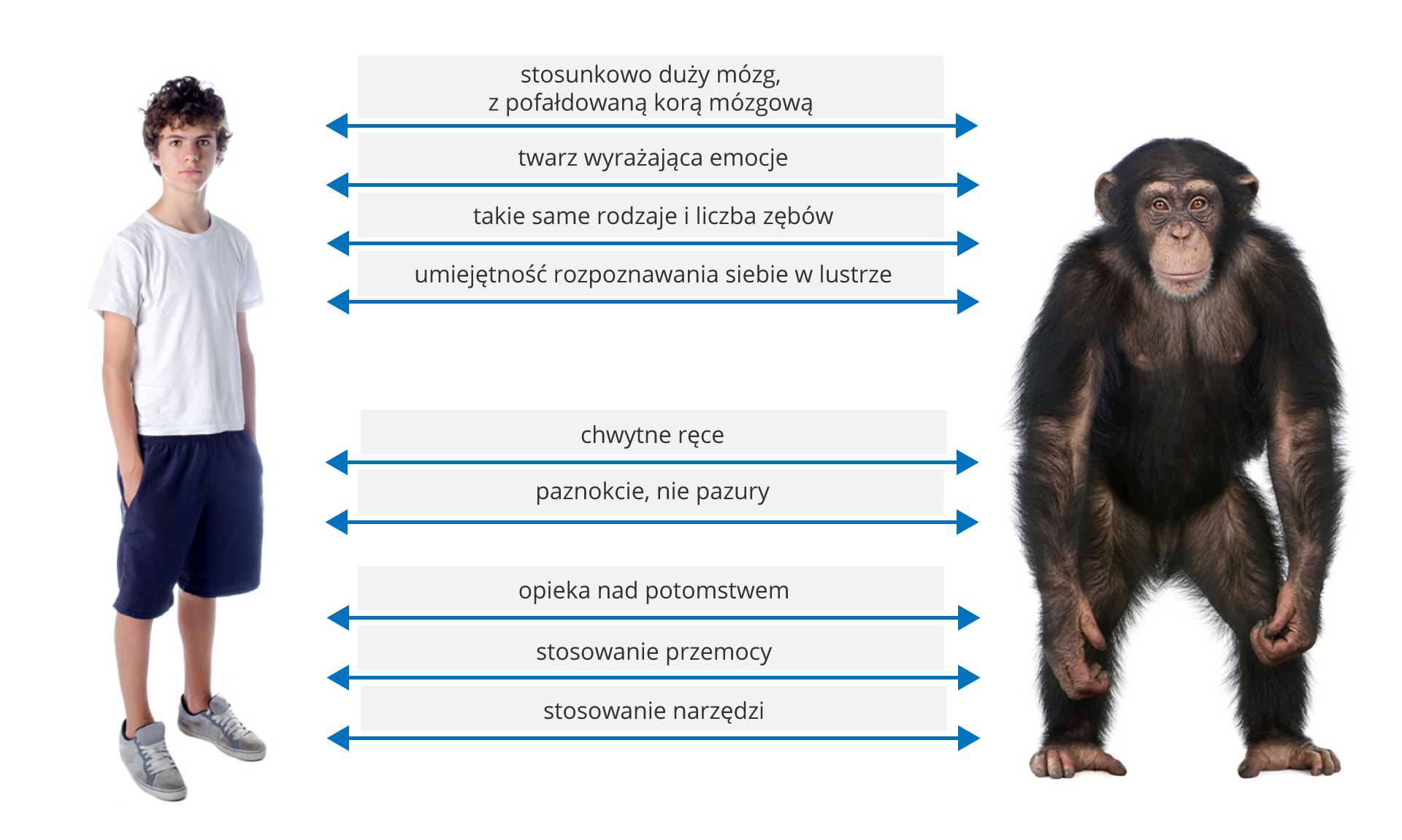 Ilustracja przedstawia zlewej fotografię chłopca wstroju sportowym, zprawej fotografię czarno owłosionego szympansa. Pomiędzy nimi znajdują się niebieskie linie ze strzałkami, wskazujące podobieństwa pomiędzy człowiekiem amałpą. Od góry: stosunkowo duży mózg zpofałdowaną korą mózgową. Niżej: twarz wyrażająca emocje, takie same rodzaje iliczba zębów, rozpoznawanie siebie wlustrze. Dalej: chwytne dłonie ipaznokcie, anie pazury. Na końcu cechy: opieka nad potomstwem, stosowanie przemocy, używanie narzędzi.