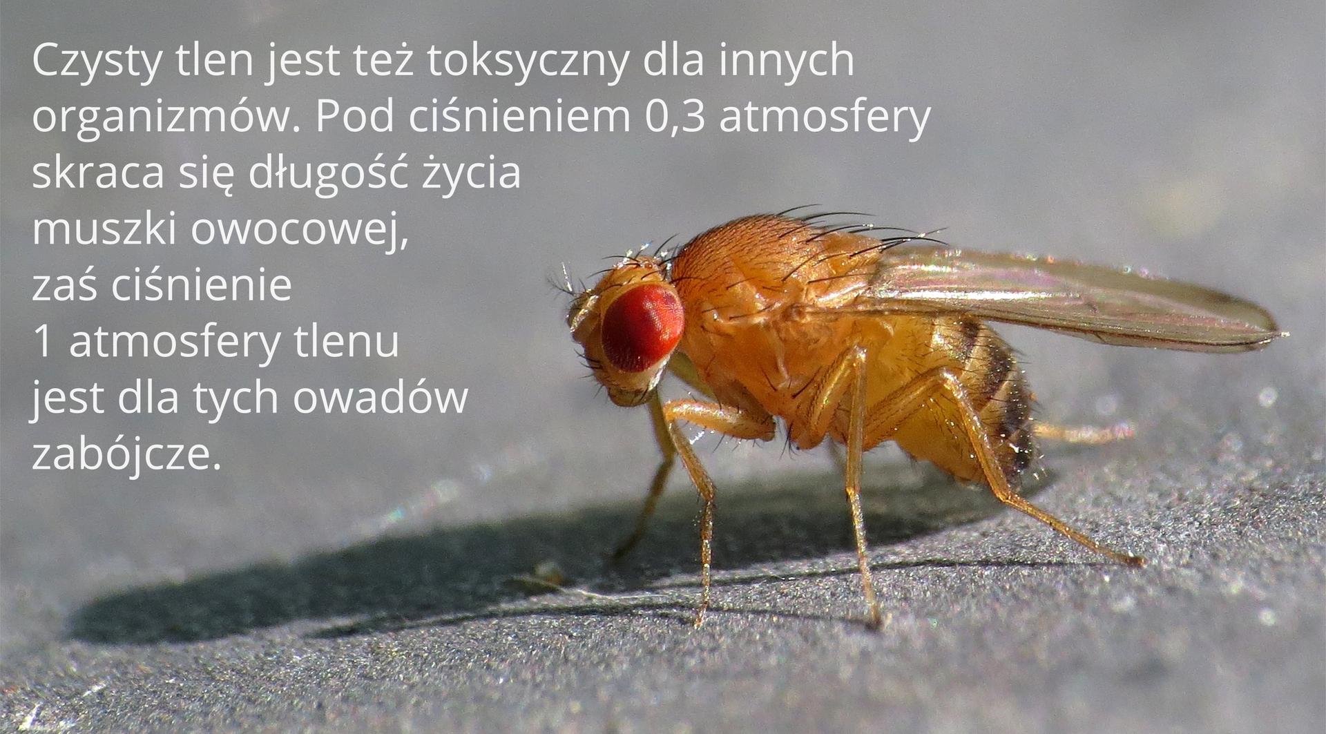 Czwarty kadr galerii. Ilustracja przedstawia makrofotograficzne zdjęcie muszki owocowej siedzącej na popielatym podłożu. Napis obok głosi: Czysty tlen jest też toksyczny dla innych organizmów. Pod ciśnieniem 0,3 atmosfery skraca długość życia muszki owocowej, zaś ciśnienie jednej atmosfery tlenu jest dla tych owadów zabójcze.