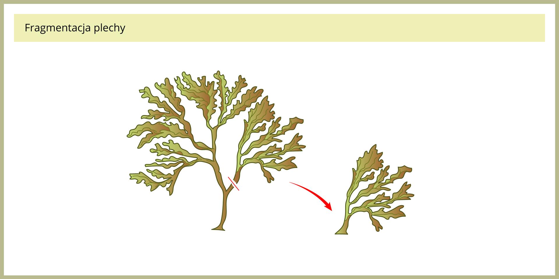 Ilustracja przedstawia dwa ciemno oliwkowe glony zgrupy brunatnic. Mniejszy, wskazany przez czerwoną strzałkę to oderwany od dużego kawałek ciała, tak zwanej plechy. Taki sposób rozmnażania nazywa się podziałem plechy*.