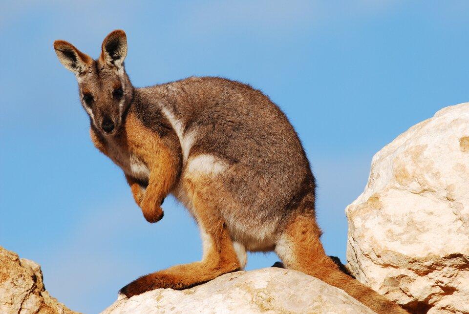 Fotografia przedstawia brązowego kangura na skale. Zwierzę przysiadło na tylnich łapach ipodpiera się ogonem. Kangury występują wAustralii ina okolicznych wyspach.