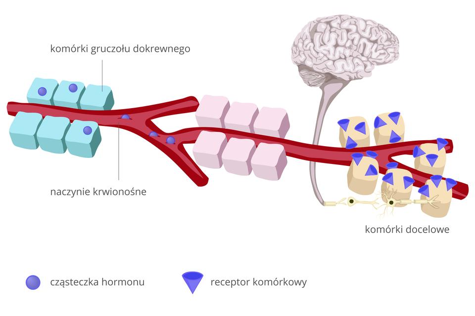 Ilustracja przedstawia przebieg informacji pomiędzy mózgiem akomórkami. Czerwona, gruba, rozgałęziona linia to naczynie krwionośne. Fioletowe kulki oznaczają cząsteczki hormonu, fioletowe stożki to receptory komórkowe. Po lewej stronie ilustracji widać bloki sześciu błękitnych klocków, po trzy zkażdej strony czerwonego naczynia krwionośnego. To komórki gruczołu dokrewnego. Znajdują się wnich cząsteczki hormonu, uwalniane do krwi. Wędrują znią dalej. Sześciany wkolorze bladoróżowym to komórki ciała. Ostatnie trzy pary komórek mają widoczne fioletowe receptory komórkowe. Służą one do wyłapywania cząsteczek hormonu. Na dole komórek, po lewej stronie dwa białe, rozgałęzione kształty zwyraźnym czarnym jądrem to neurony. Łączą się one zrdzeniem kręgowym. Tędy przewodzone są impulsy do izmózgu (szarej, pofałdowanej półkuli).