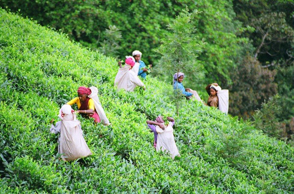 Na zdjęciu zbiór herbaty na plantacji położonej na stoku górskim. Kobiety wkolorowych strojach, wturbanach na głowach. Na plecach mają zwieszone worki, do których wrzucają zerwane listki. Wtle las.