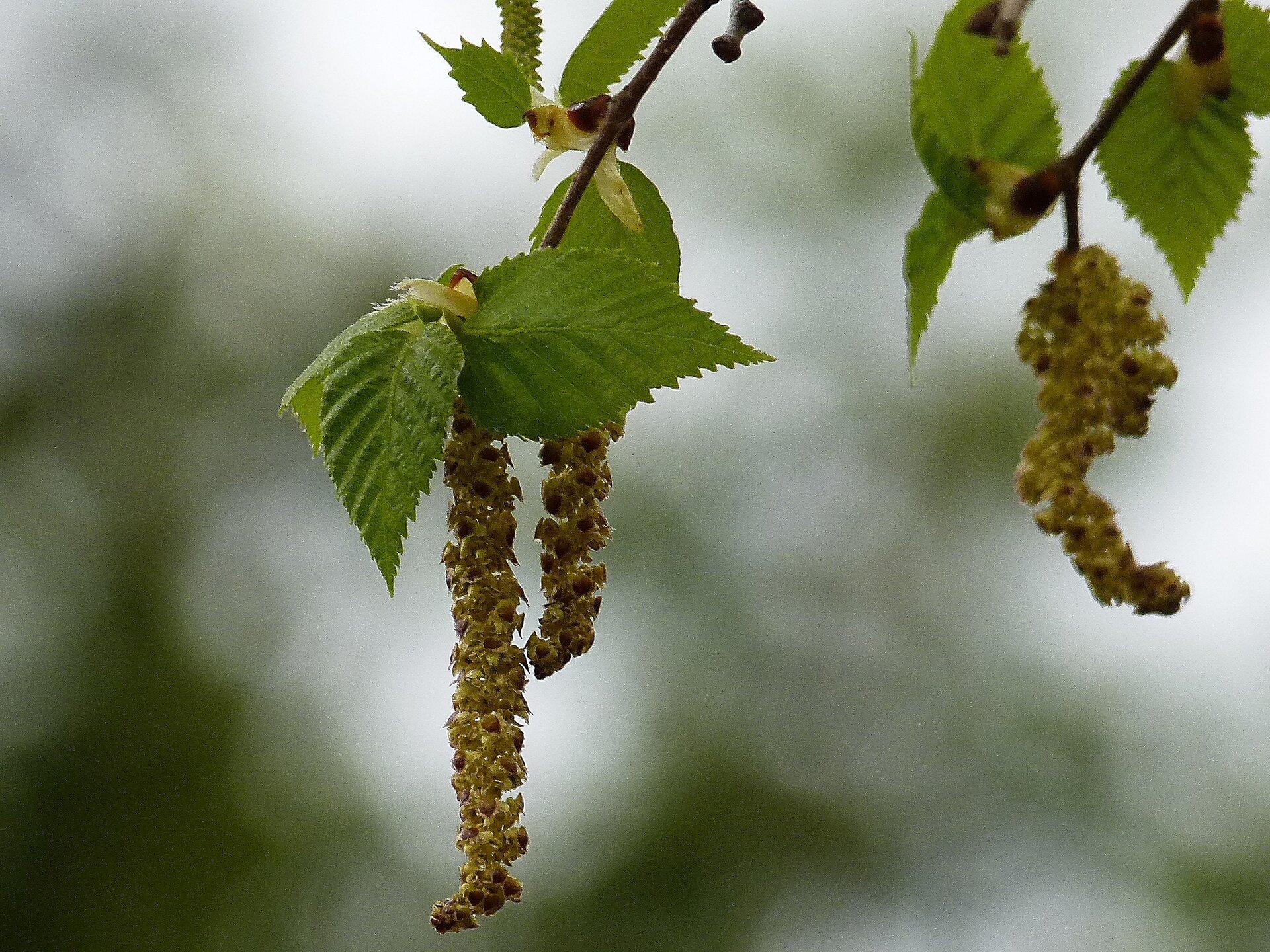 Fotografia liści ikwiatów brzozy. Kwiaty są beżowe. Brzozy mają białą korę, łuszczącą się wpoprzek pnia. Liście niewielkie, ciemnozielone, wkształcie rombów na długich ogonkach. Brzeg blaszki liściowej drobno ząbkowany.