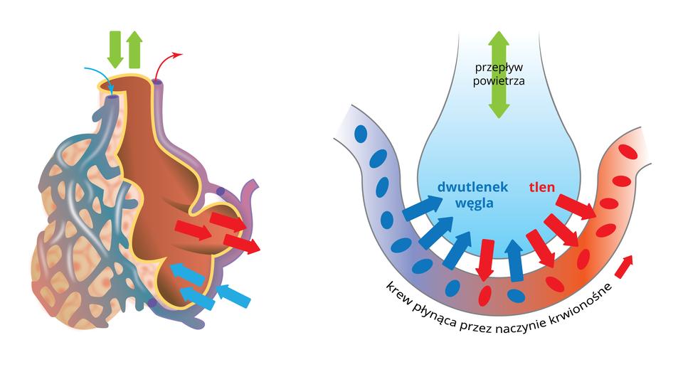 Ilustracja po lewej stronie przedstawia grono pęcherzyków płucnych, oplecione siecią naczyń włosowatych. Zielona strzałka wskazuje przepływ powietrza do pęcherzyków izpęcherzyków. Niebieskie strzałki na przekroju pęcherzyków pokazują dyfuzję dwutlenku węgla znaczyń włosowatych do wnętrza pęcherzyków, aczerwone strzałki dyfuzję tlenu zpęcherzyków do naczyń włosowatych. Po prawej stronie szczegółowa ilustracja dyfuzji tlenu idwutlenku węgla przez nabłonek pęcherzyka płucnego.