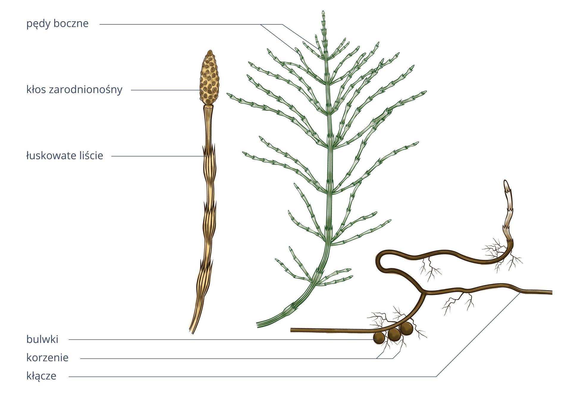 Ilustracja przedstawia trzy rysunki, ukazujące budowę różnych części skrzypu polnego. Pierwsza zlewej łodyga jest jasnobrązowa izłożona zodcinków, zktórych wyrastają łuskowate liście. Na szczycie ma owalny kłos zarodnionośny zlicznymi ciemnobrązowymi kropkami – zarodniami. Wśrodkowej części ilustracji przedstawiono zieloną łodygę skrzypu zlicznymi pędami bocznymi. Przypomina delikatną choinkę. Po prawej znajduje się ciemnobrązowa łodyga podziemna zkulistymi bulwkami. Wyrastają zniej wdół krótkie korzenie, awgórę łodyga.