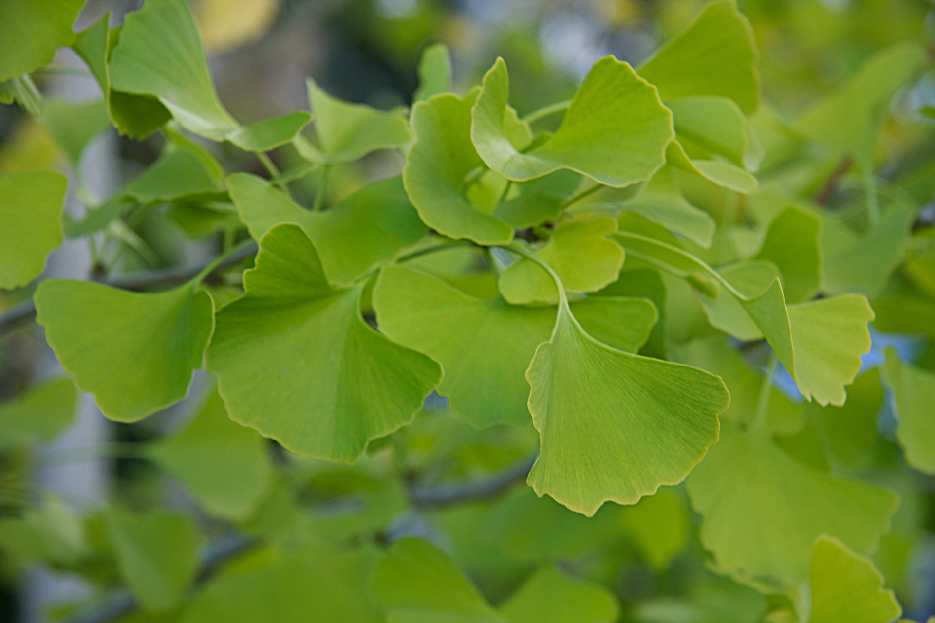 Zdjęcie liści miłorzębu dwuklapowego. Liście mają kształt wachlarza. Od ogonka liścia wstronę brzegu liścia odchodzą cienkie żyłki.