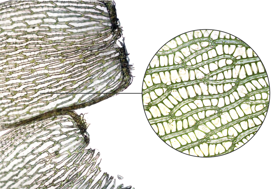 Ilustracja przedstawia ugóry dwie szare, siatkowate struktury ociemniejszej krawędzi dolnej. To zbliżenie listków mchu torfowca. Od jednego wdół powiększenie mikroskopowe. Wnim ukazano, że siateczka to wrzeczywistości cienkie komórki, wktórych mieszczą się nieliczne jasnozielone chloroplasty.