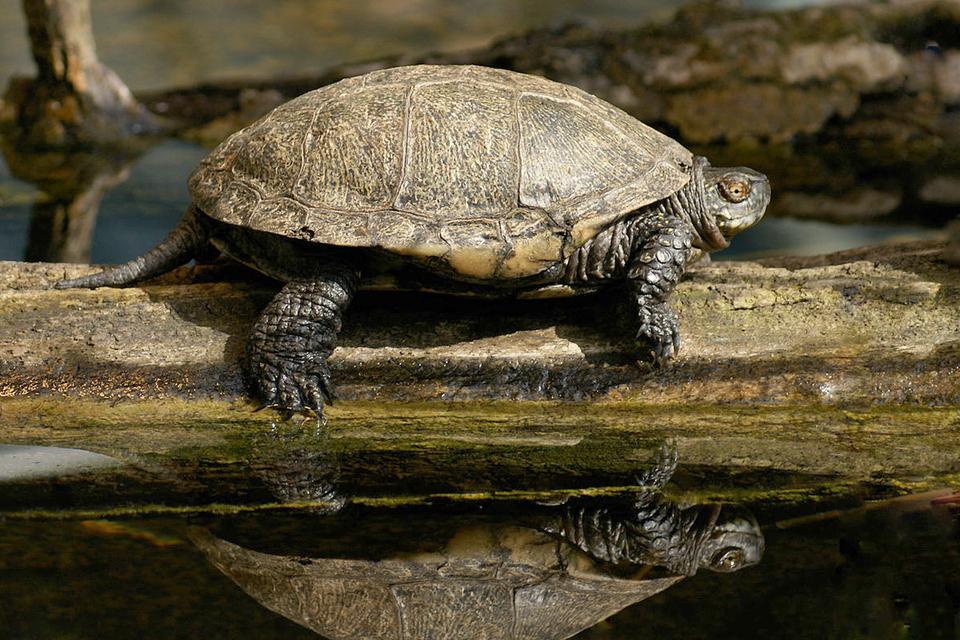 Fotografia prezentuje żółwia chodzącego po pniu.