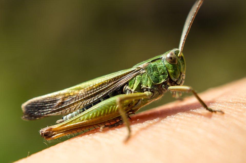 Fotografia prezentuje zielonego uskrzydlonego konika polnego siedzącego na ręce. Na jego tylnych odnóżach znajdują się narządy słuchu.