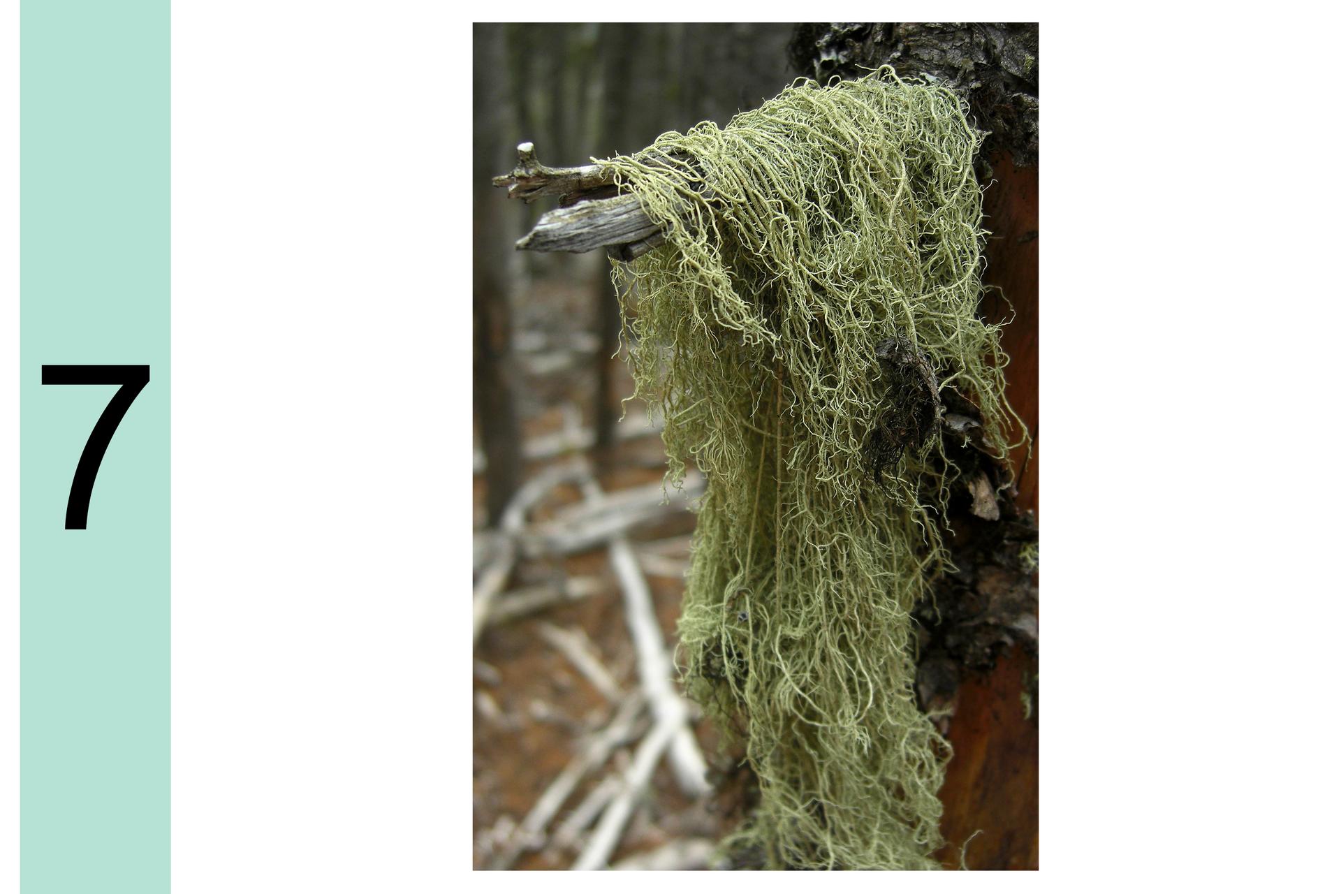 Fotografia przedstawia kępę szaro zielonych, nitkowatych porostów, zwisających zgałęzi przy pniu. Po lewej cyfra 7. Oznacza to, że powietrze jest czyste.
