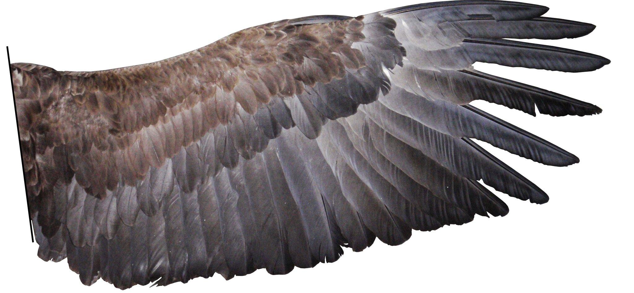 Skrzydło orła bielika Skrzydło orła bielika Źródło: Conty, licencja: CC BY-SA 3.0.