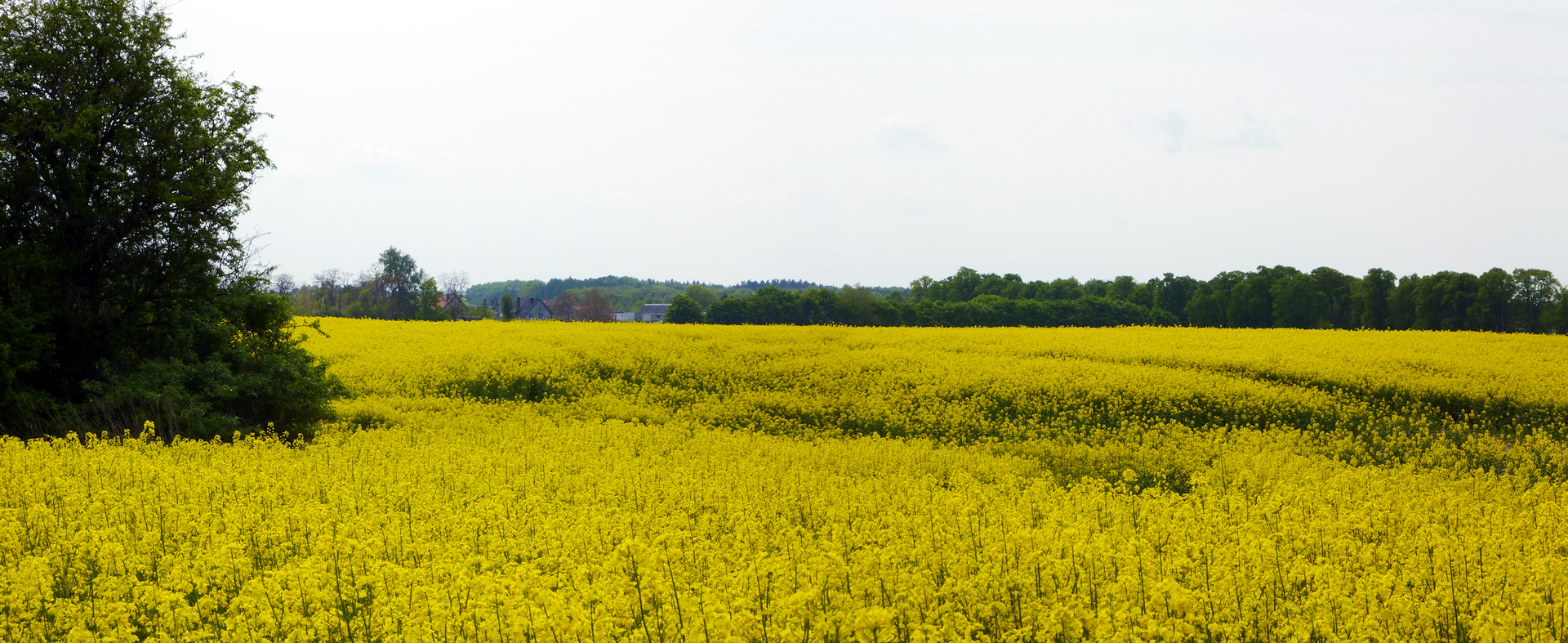 Fotografia przedstawiająca pole uprawne żółtego rzepaku.