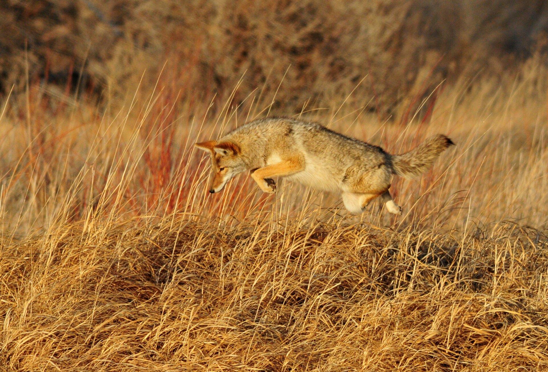 Fotografia prezentuje kojota wtrakcie skoku na swoją ofiarę pośród traw.