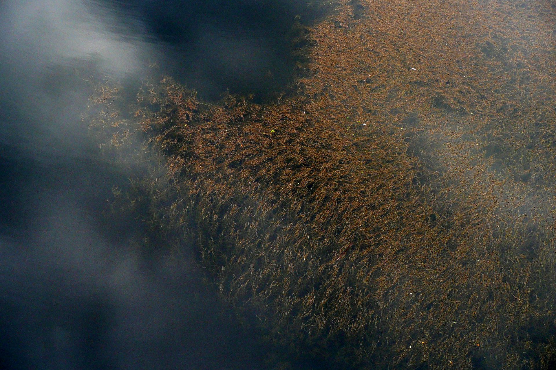 Fotografia przedstawia toń morską zlicznymi brązowymi roślinami. To glony brunatnice , wyrastające aż pod powierzchnię Morza Sargassowego.
