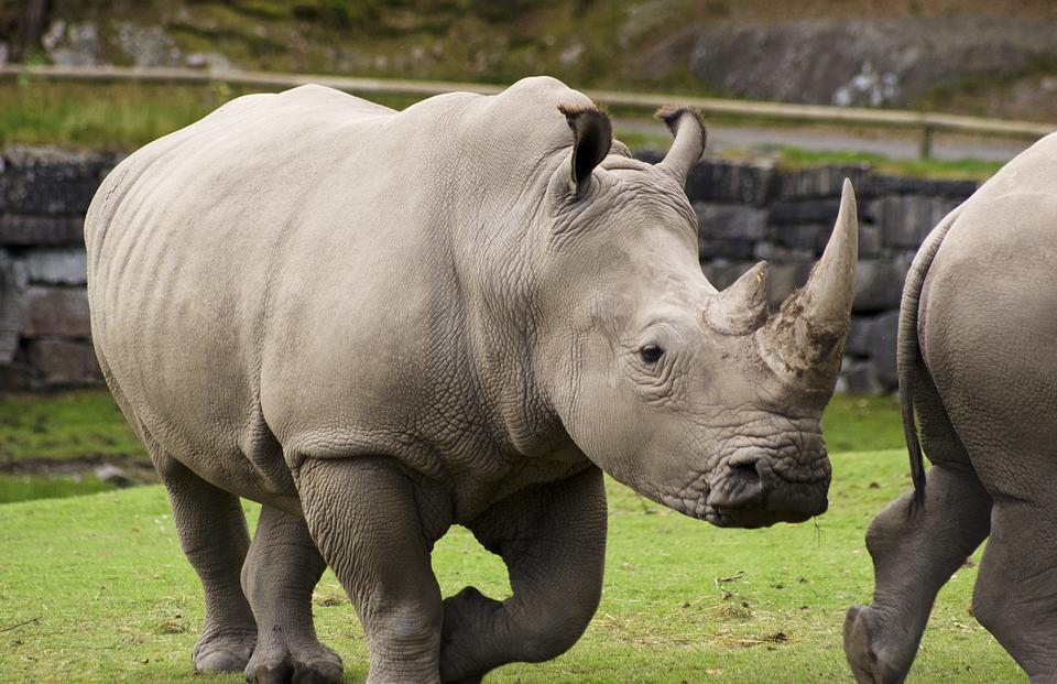 Fotografia przedstawiająca nosorożce białe na wybiegu wNowym Zoo wPoznaniu