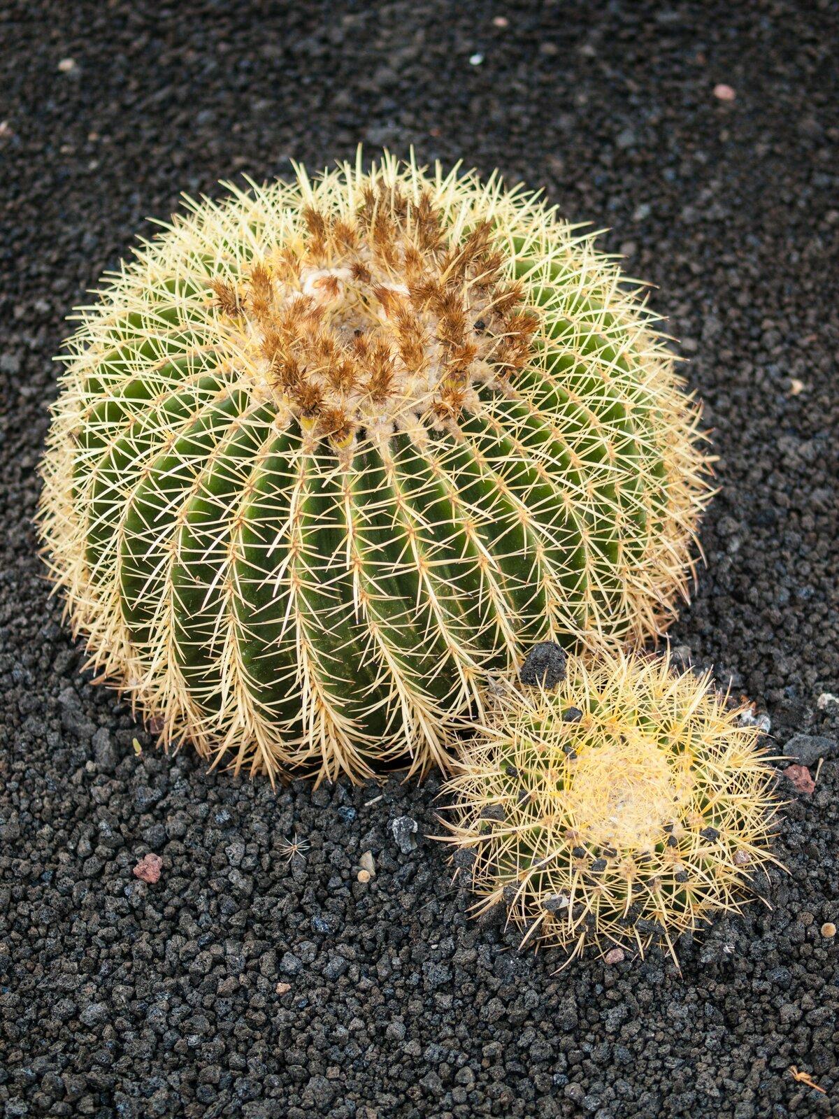 Fotografia zlewej przedstawia kuliste kaktusy na szarym podłożu. Jest duży imały, oba mają wiele kolców iżebrowaną, grubą łodygę. Służy ona gromadzeniu wody.