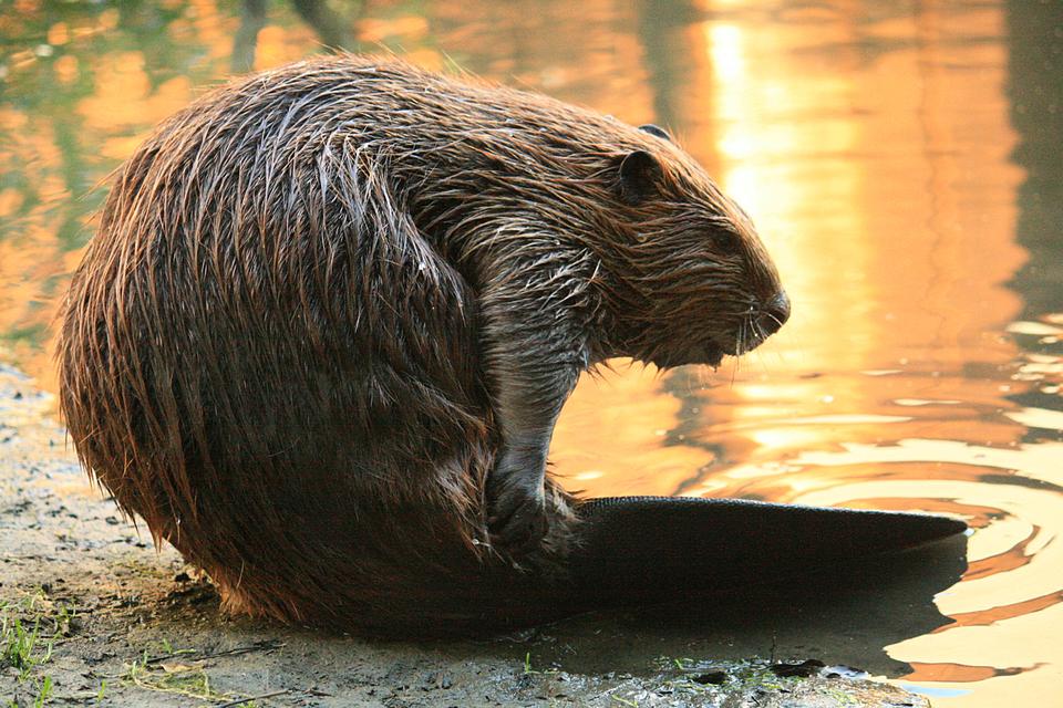 Fotografia przedstawia brązowego bobra na brzegu wody ozachodzie słońca. Zwierzę siedzi bokiem wprawo, przednią łapą trzymając mokrą sierść na grzbiecie przy ogonie. Czarny ogon, nieowłosiony, leży częściowo wwodzie. Głowa wdół, duża, tępo zakończona, zmałymi uszami.