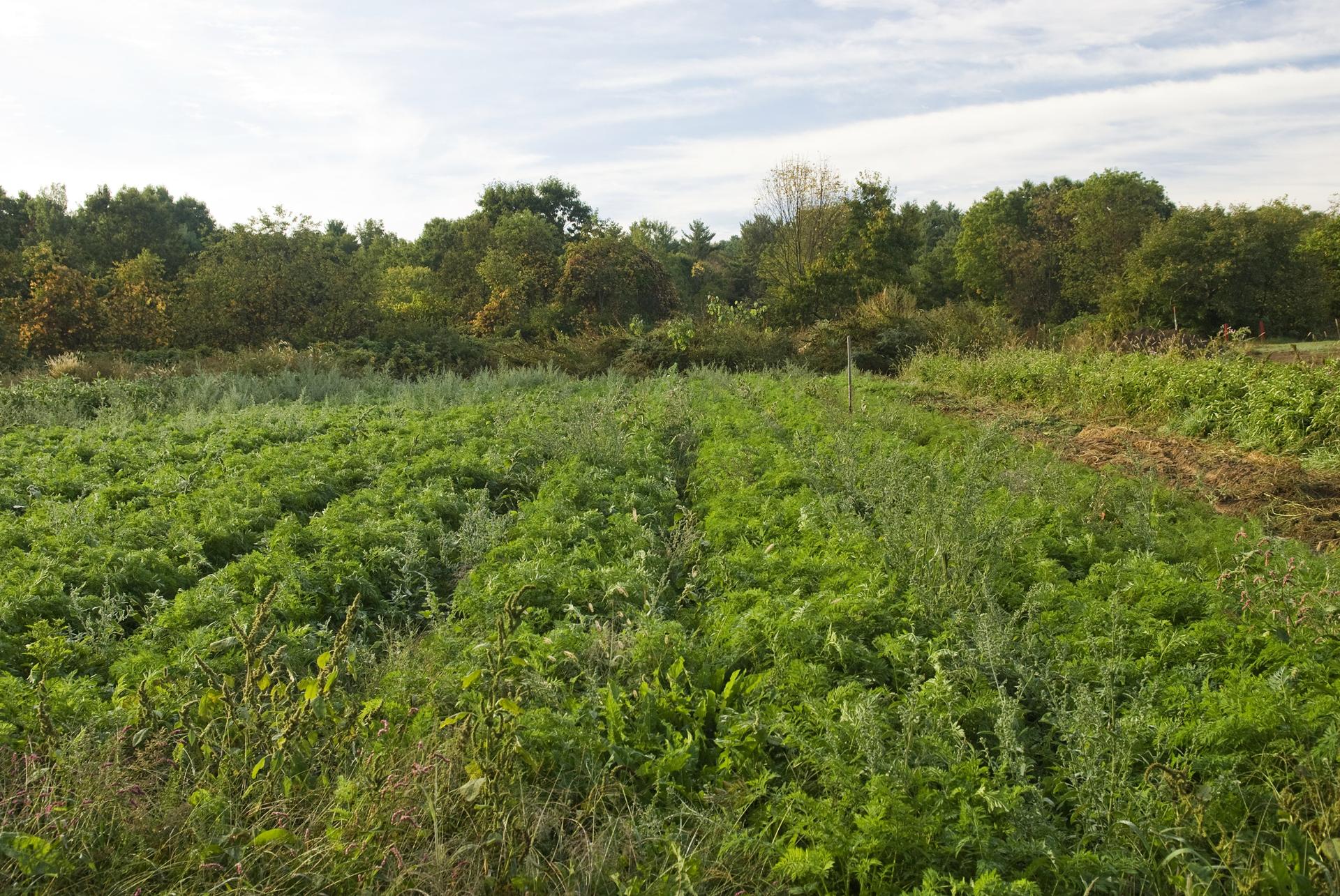 Fotografia przedstawia fragment pola uprawnego. Miedzy rzędami jasnozielonej marchwi rosną szarozielone, wysokie lebiody (chwasty).