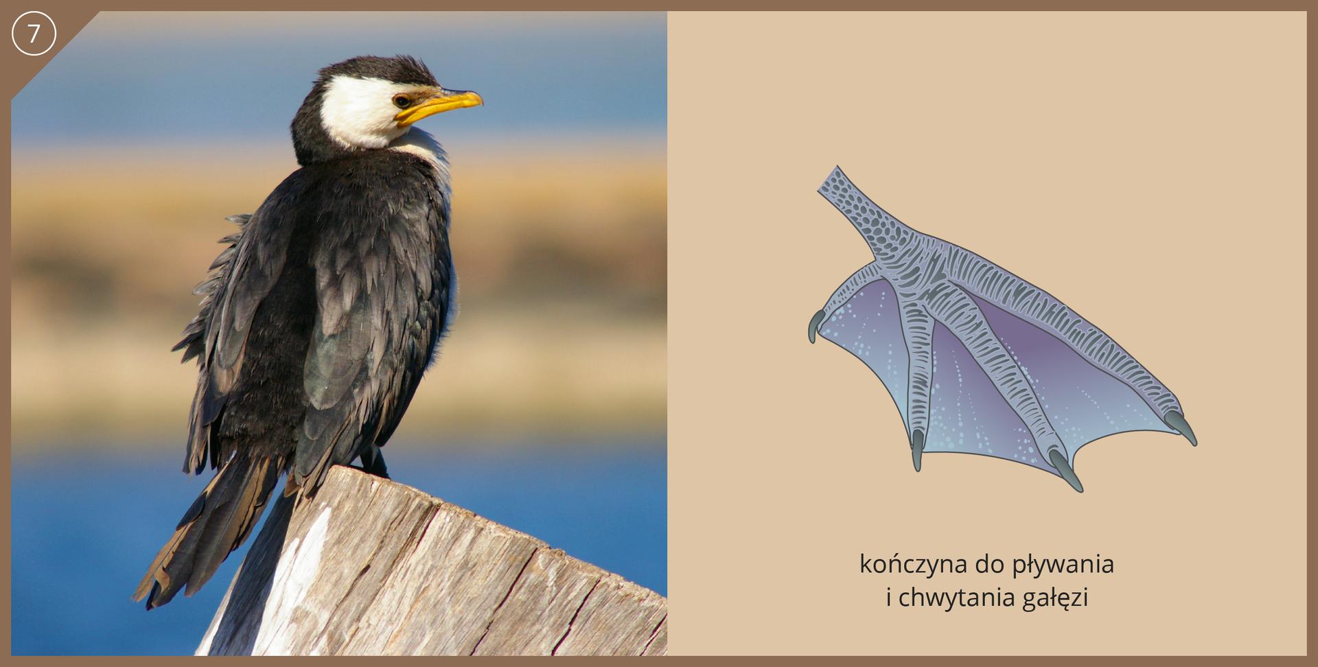 Fotografia przedstawia kormorana, siedzącego na drewnianym palu. Czarny ptak ma białą głowę iżółty, długi dziób lekko zakrzywiony na końcu. Ilustracja przedstawia kończynę przystosowana do pływania ichwytania gałęzi. Trzy niebieskie palce są wydłużone, czwarty krótszy ale wszystkie połączone błoną pławną. Pazury średnio długie.