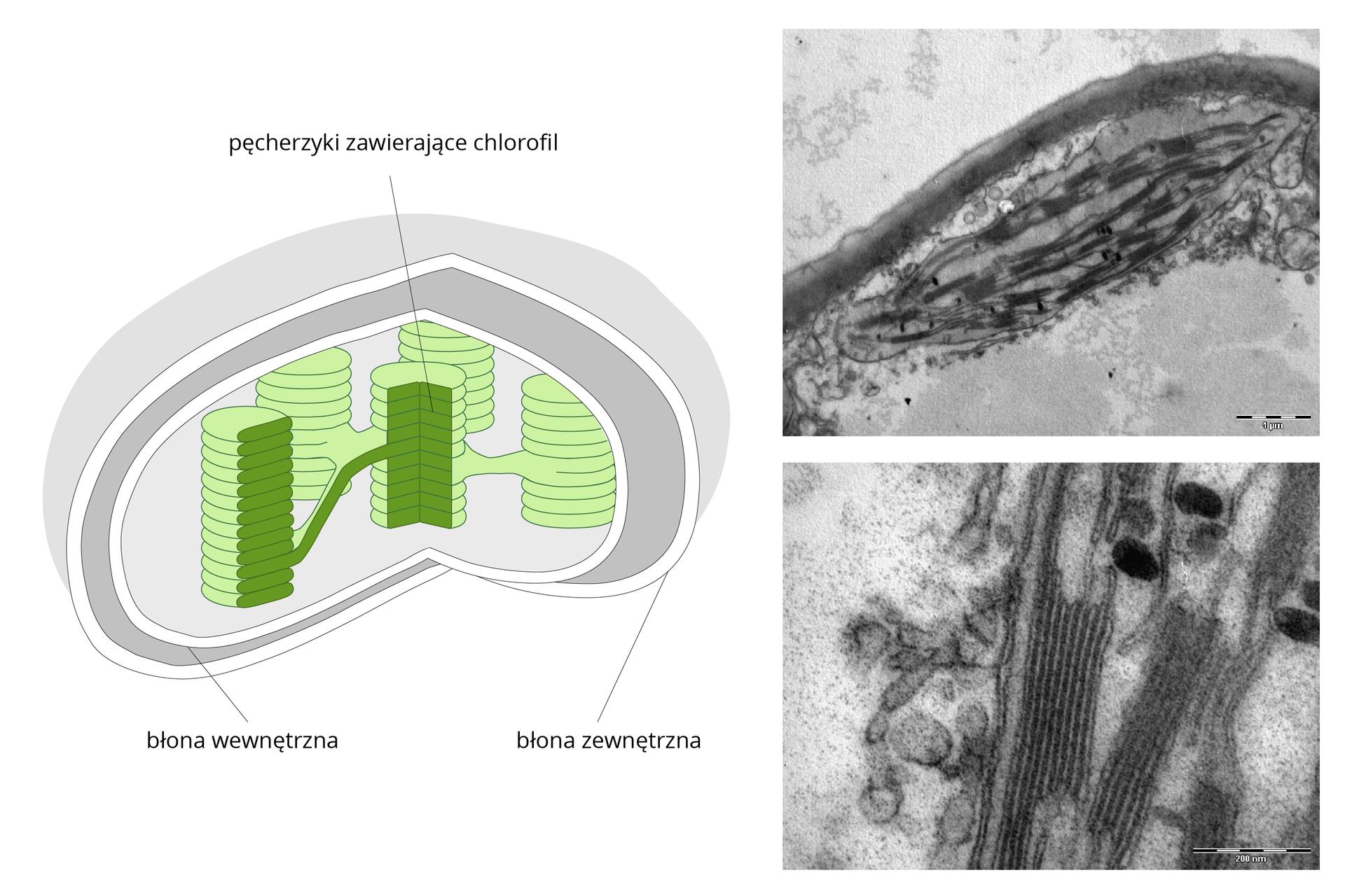 Ilustracja przedstwiająca schemat chloroplastu po lewej stronie ilustracji oraz obrazy submikroskopowe cholorplastu po prawej stronie ilustracji