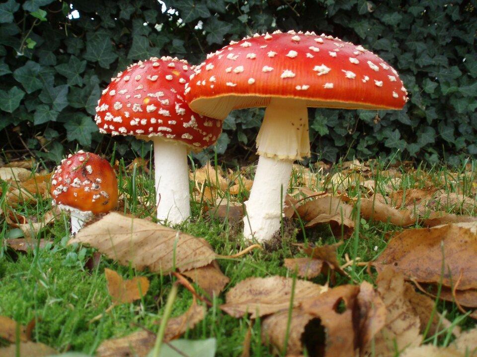 Fotografia przedstawia trzy czerwono – białe muchomory różnej wielkości wdużym zbliżeniu. Wokół nich znajdują się liście itrawa. Grzyby pozyskują substancje odżywcze zrozkładu ściółki, czyli są saprobiontami.