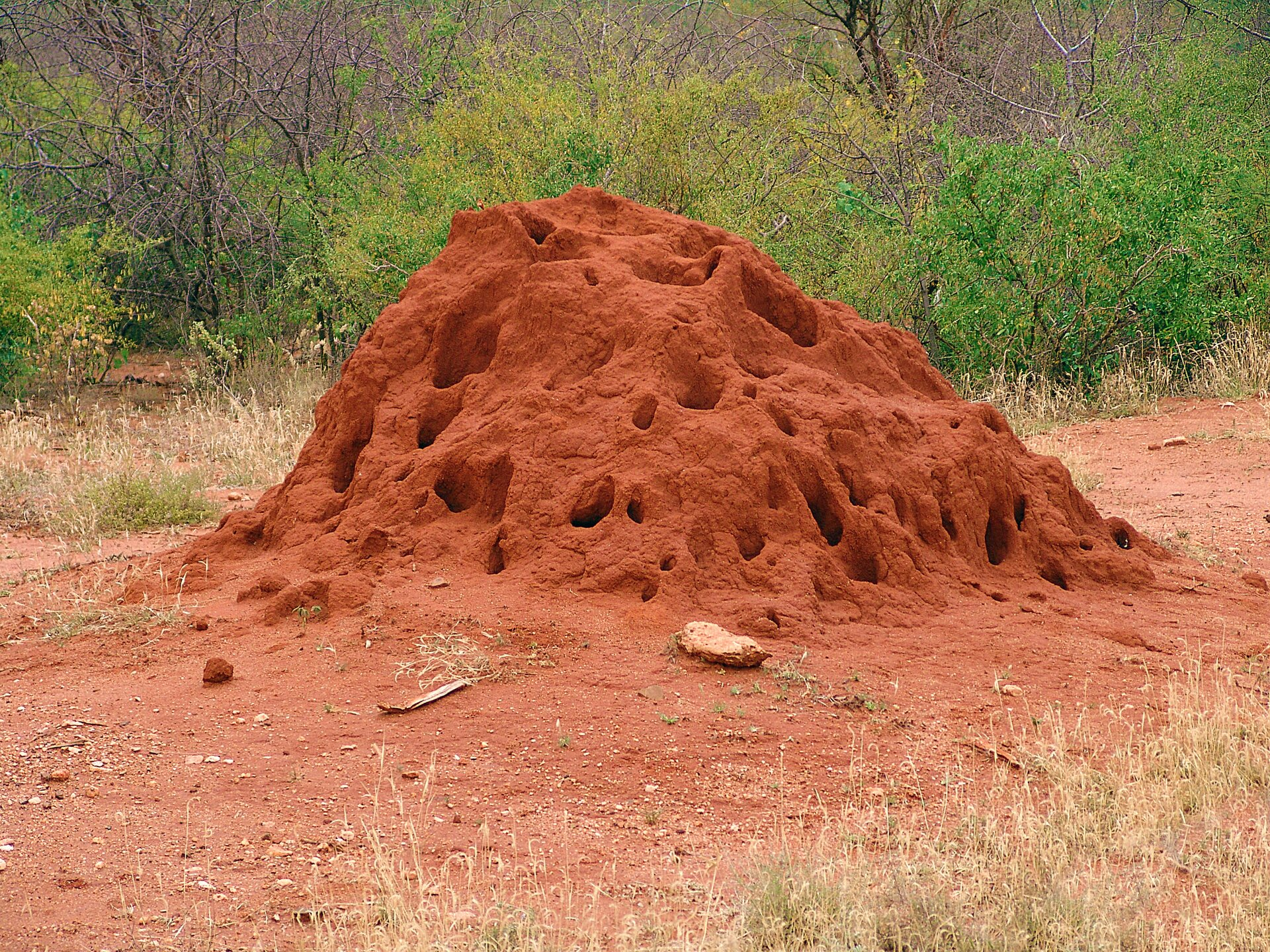 Fotografia przedstawia kopiec termitów onieregularnym kształcie. Wznosi się wysoko ponad rudą ziemię. Ma kolor pomarańczowy, aliczne duże otwory wnim są ciemniejsze. Wtle zielone krzewy, zprzodu sucha trawa. Bilsko kopca nic nie rośnie.