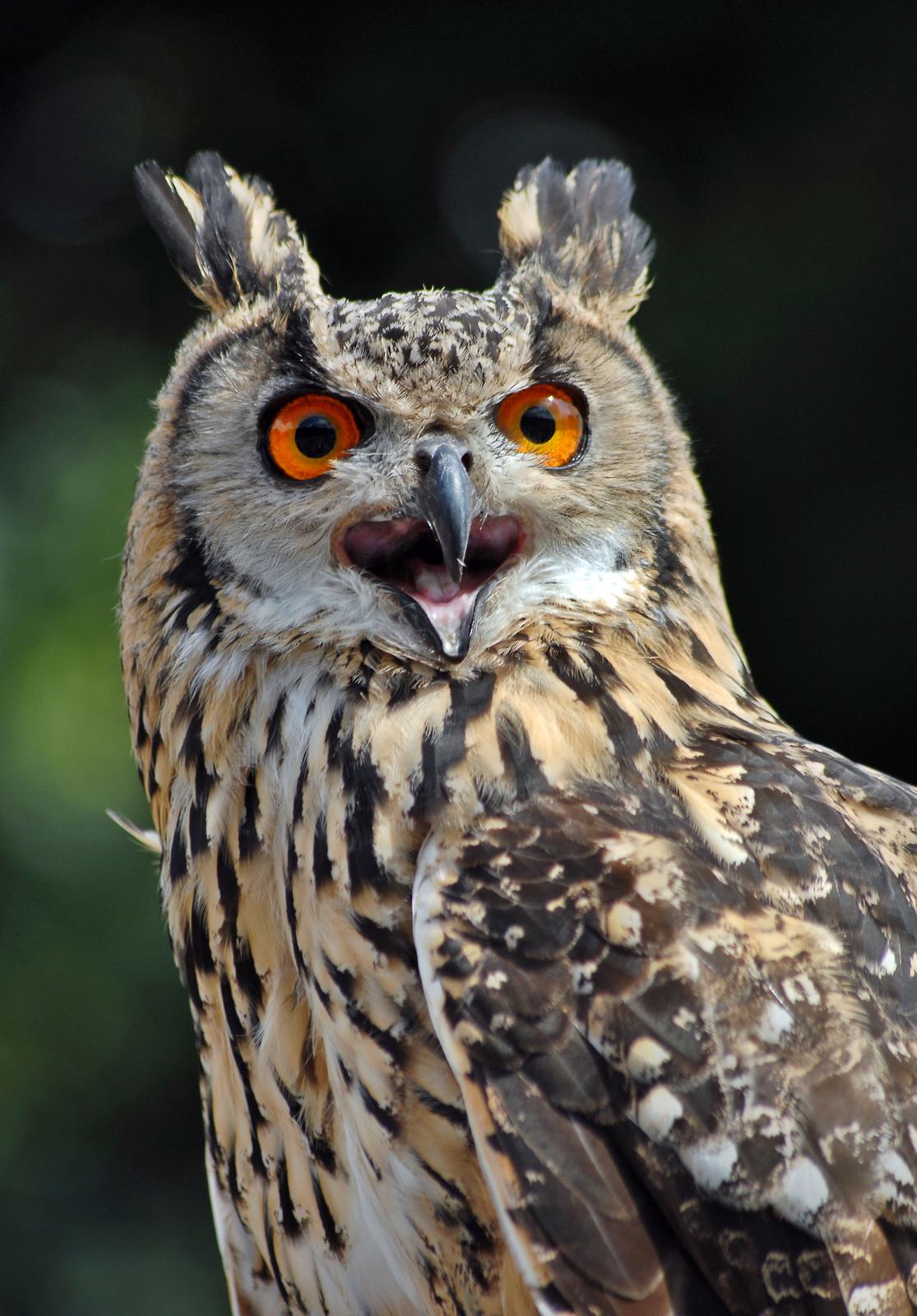 Fotografia prezentuje ptaka puchacza.