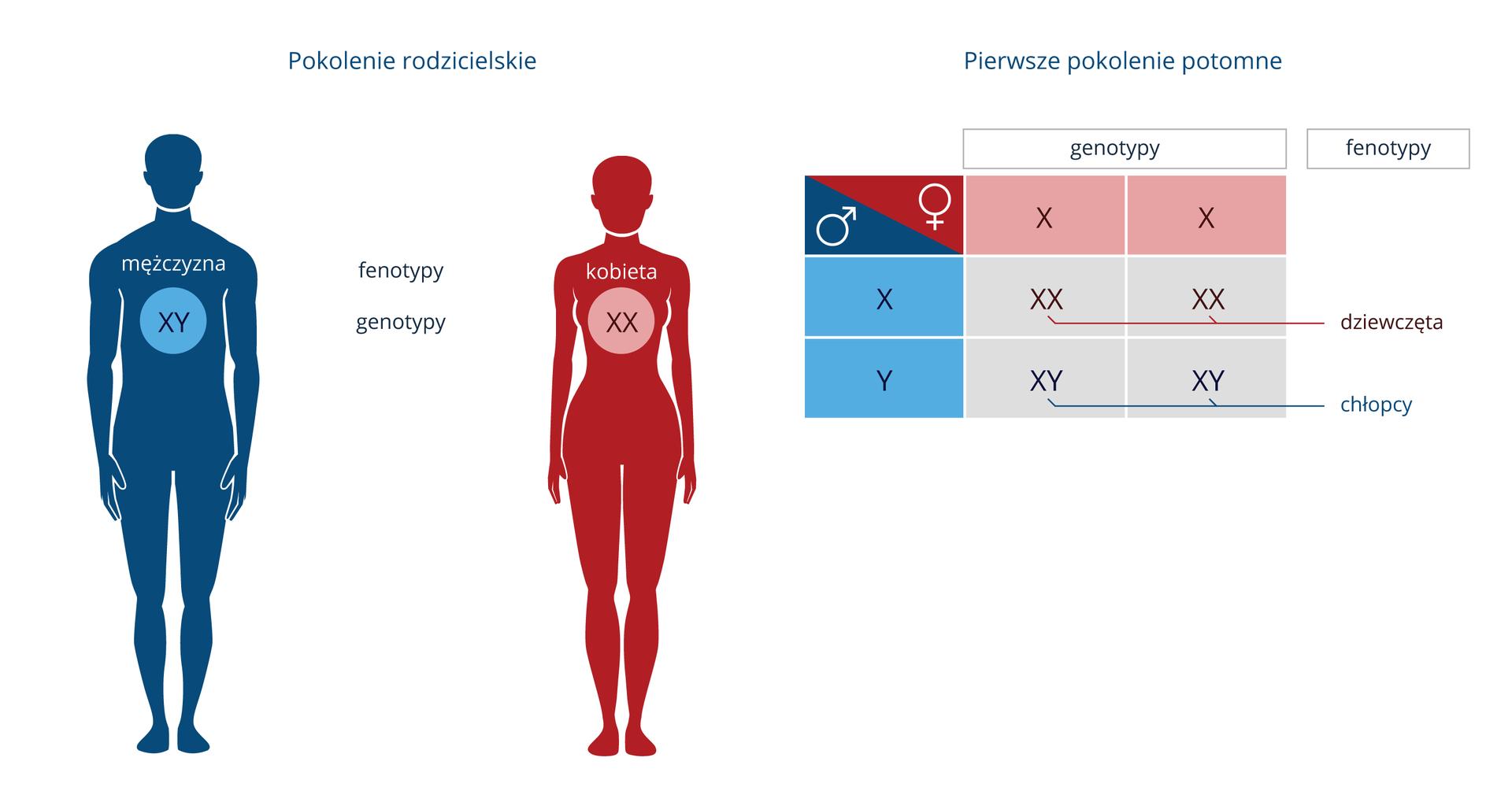 Ilustracja przestawia niebieską sylwetkę mężczyzny wpisanymichromosomami płci XY. Obok różowa sylwetka kobiety zwpisanymi chromosomami XX. Ugóry podpis pokolenie rodzicielskie. Zprawej niebiesko - różowa krzyżówka genetyczna. Ugóry napis pierwsze pokolenie potomne. Nad krzyżówką napis genotypy, obok fenotypy. Wskazówka różowa genotyp XX, fenotyp dziewczynki. Wskazówka niebieska genotyp XY, fenotyp chłopcy.