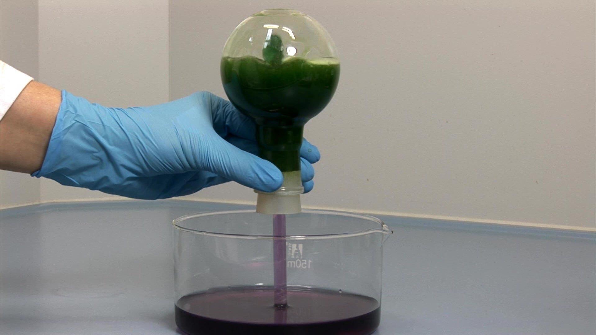 Zdjęcie przedstawia kadr znagrania prezentującego wykonanie tak zwanej fontanny amoniakalnej. Do dużego krystalizatora wypełnionego wodą zawierającą wywar zczerwonej kapusty okolorze fioletowo czerwonym demonstrator, dłonią wrękawiczce lateksowej wkłada zakończenie odwróconej do góry dnem kolby kulistej zkorkiem gumowym iprzechodzącą przez niego szklaną rurką. Przez rurkę, której otwarty koniec zanurzony jest wwodzie zwywarem zczerwonej kapusty ciecz jest gwałtownie zasysana do środka iwmiarę wypełniania kolby zmienia kolor na zielony.