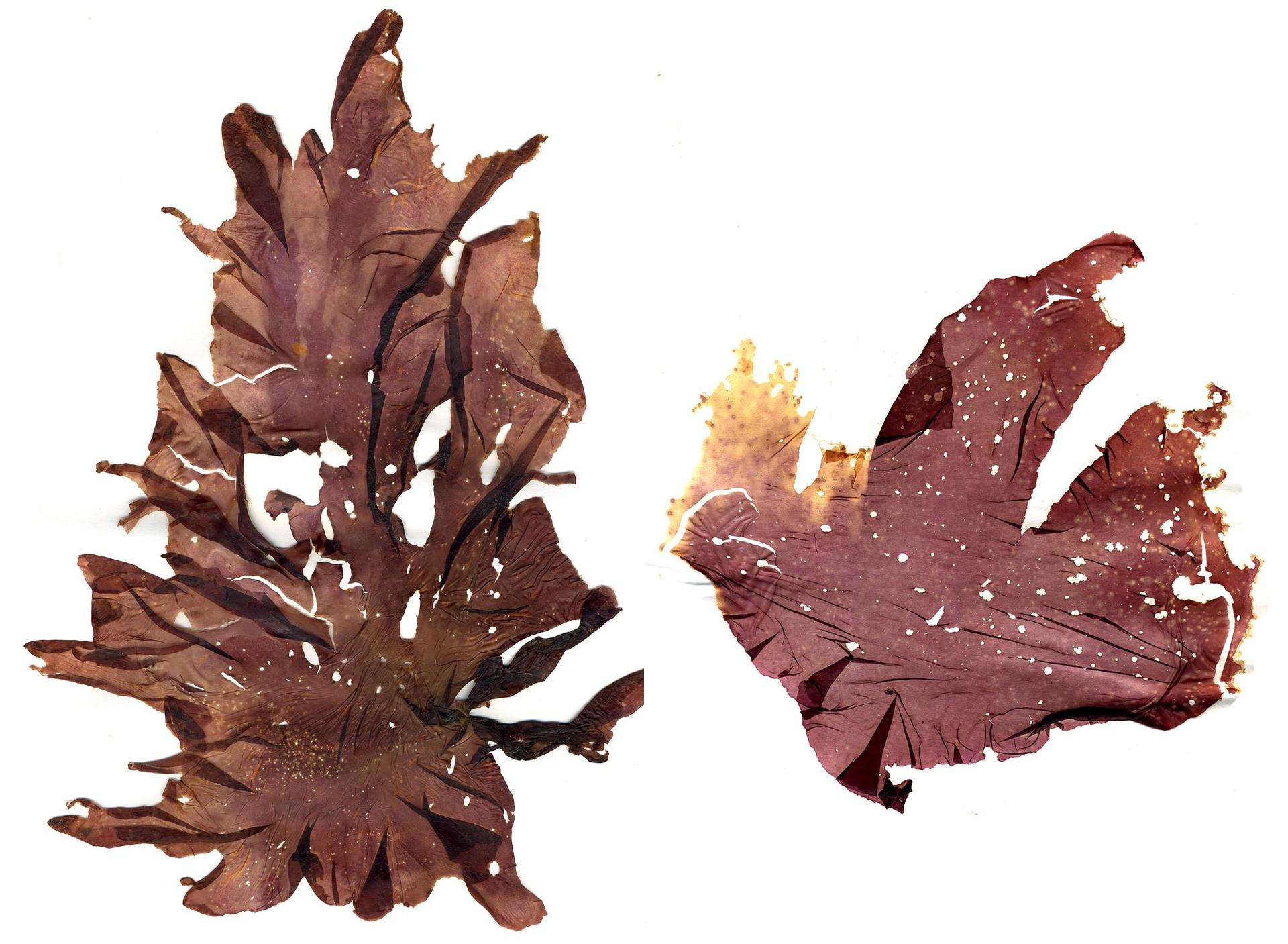 Fotografia przedstawia dwie zasuszine plechy krasmorostu. Są wielokształtne, czerwonobrązowe, mają powcinane brzegi.