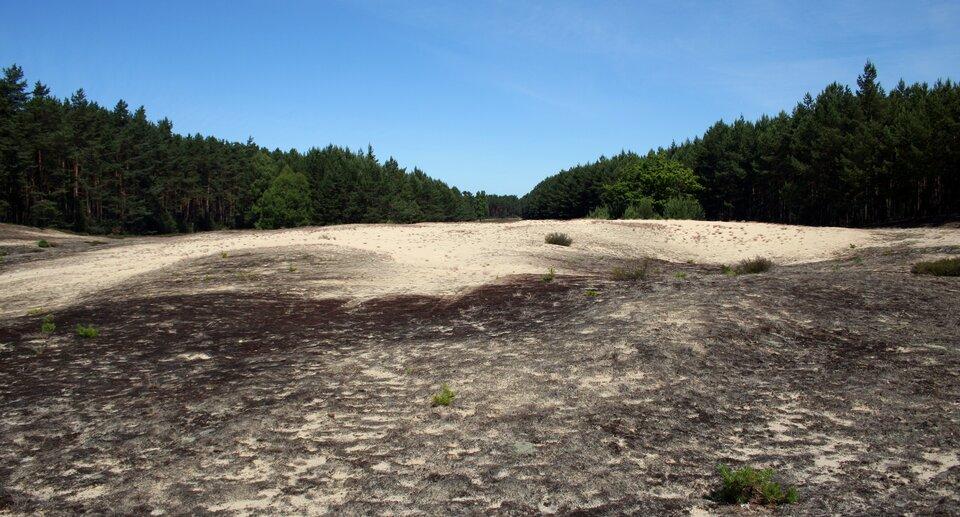Na zdjęciu piaszczysta polana wśrodku lasu iglastego.