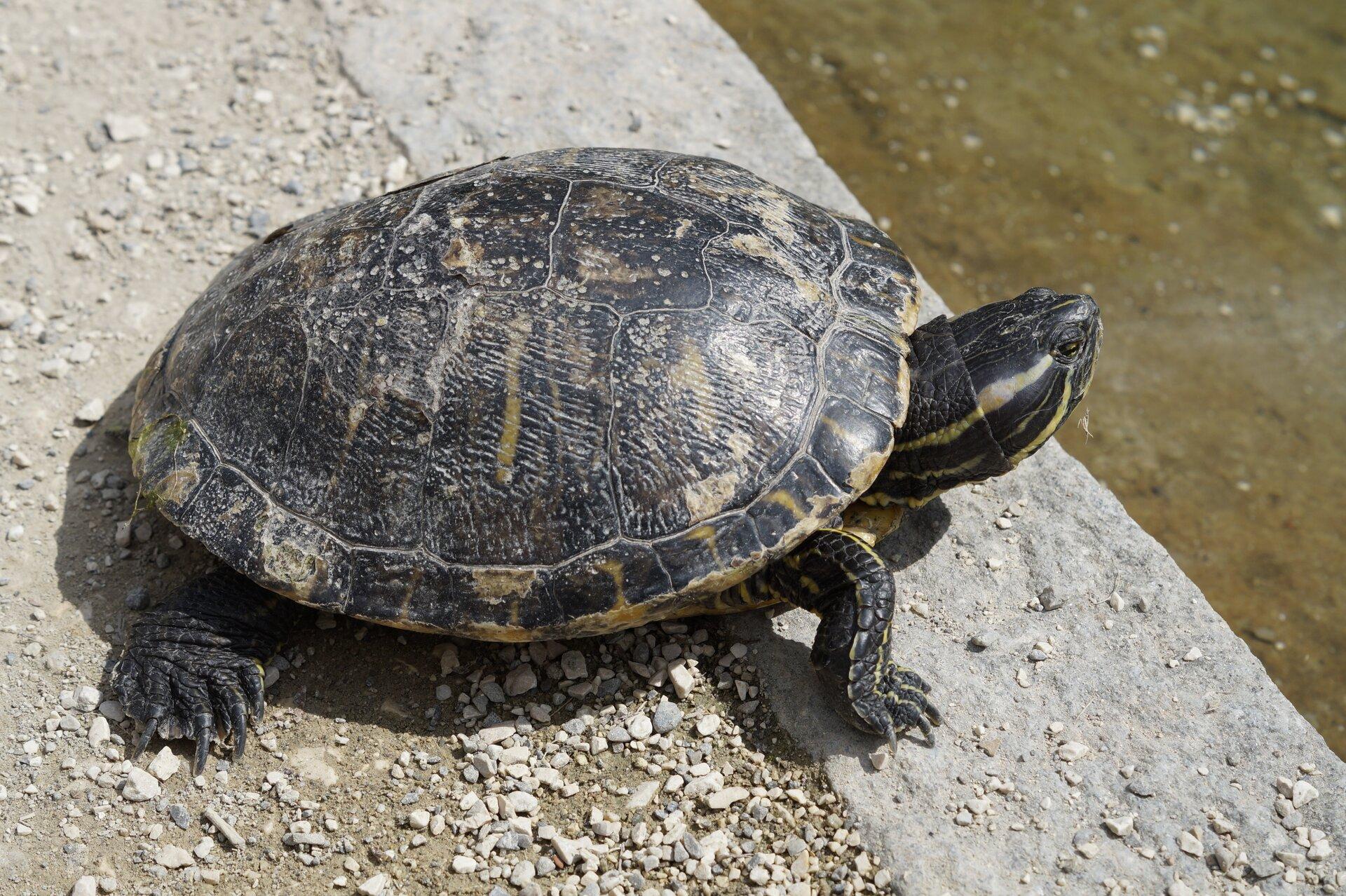 Fotografia przedstawia małego żółwia, wychodzącego zwody na kawałek drewna. Żółw ma małą głowę na grubej szyi, skierowany wlewo. Skorupa płaska, łuski szerokie, czarno brązowe. Łapy masywne na końcach.