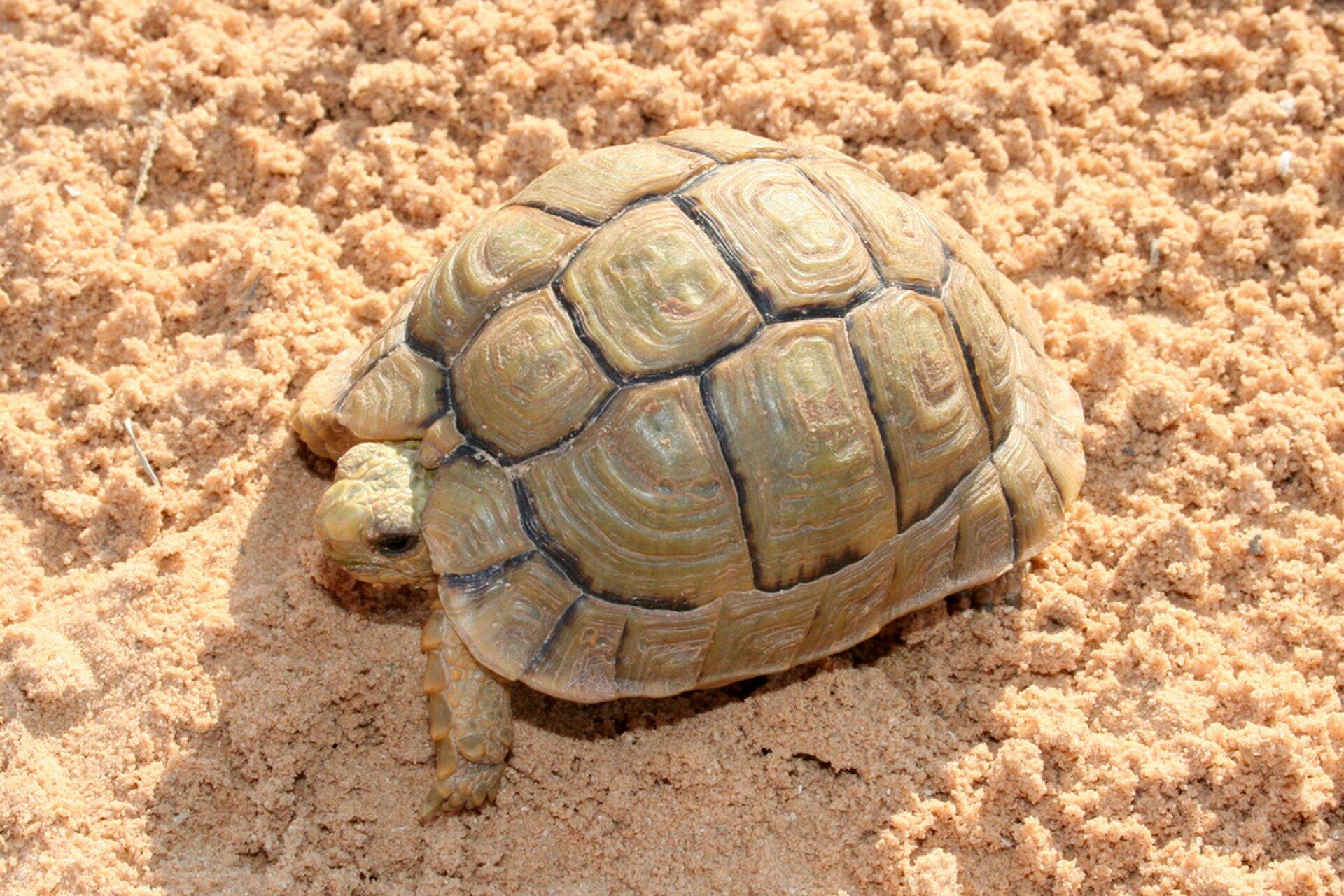 Ilustracja przedstawia żółwia na piasku. Żółw ma charakterystyczne wycięcie wskorupie nad głową. Skorupa jasna, żółtobrązowa. Obrzeża płytek grzbietowych, tworzących skorupę, zwidocznie ciemniejszą obwódką.