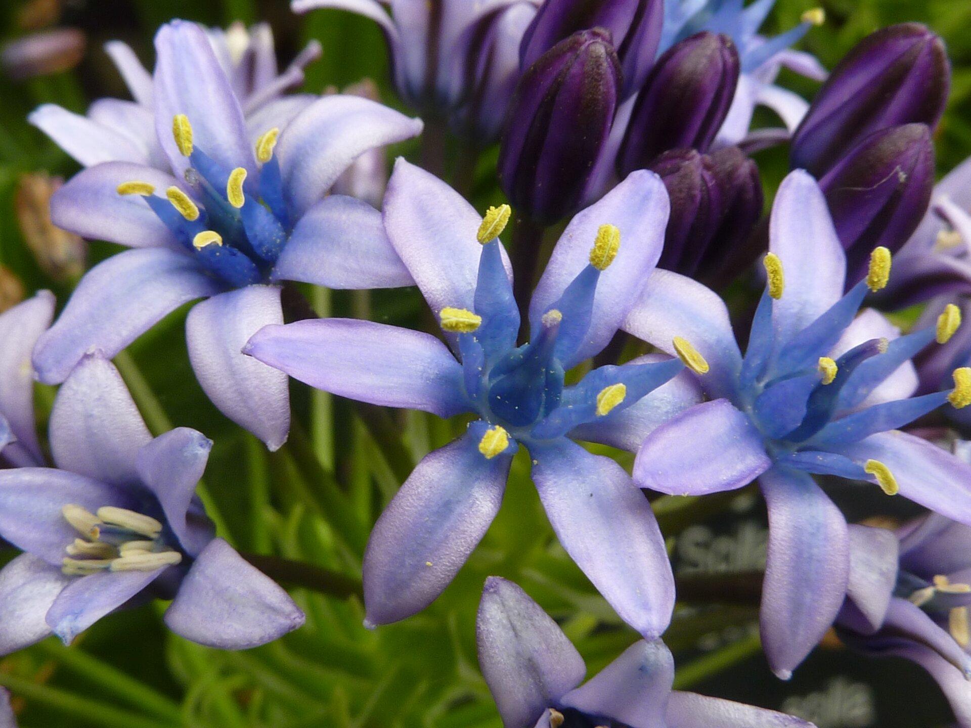 Fotografia przedstawia szafirowe kwiaty cebulicy wdużym zbliżeniu. Trzy są rozwinięte, pozostałe jeszcze wpąkach. Każdy kwiat ma sześć jaśniejszych płatków ituż przy nich butelkowate pręciki zżółtymi pylnikami. Wcentrum stoi gruby, butelkowaty słupek ze zgrubieniem na szczycie.