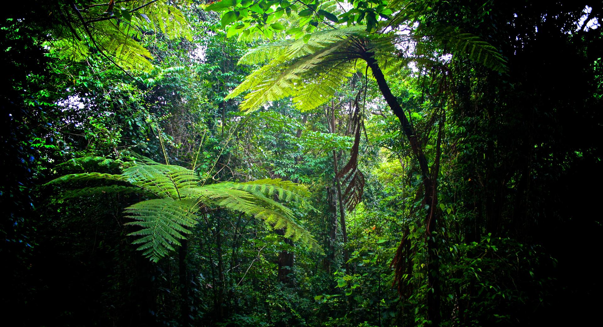 Fotografia prezentuje wnętrze lasu równikowego. Zlewej izprawej duże pnie, obrośnięte pnączami. Między nimi zwieszają się grube liany. Wkażdym wolnym miejscu znajdują się liście opierzastych blaszkach. Dno lasu jest zacienione przez gęsto rosnące rośliny.