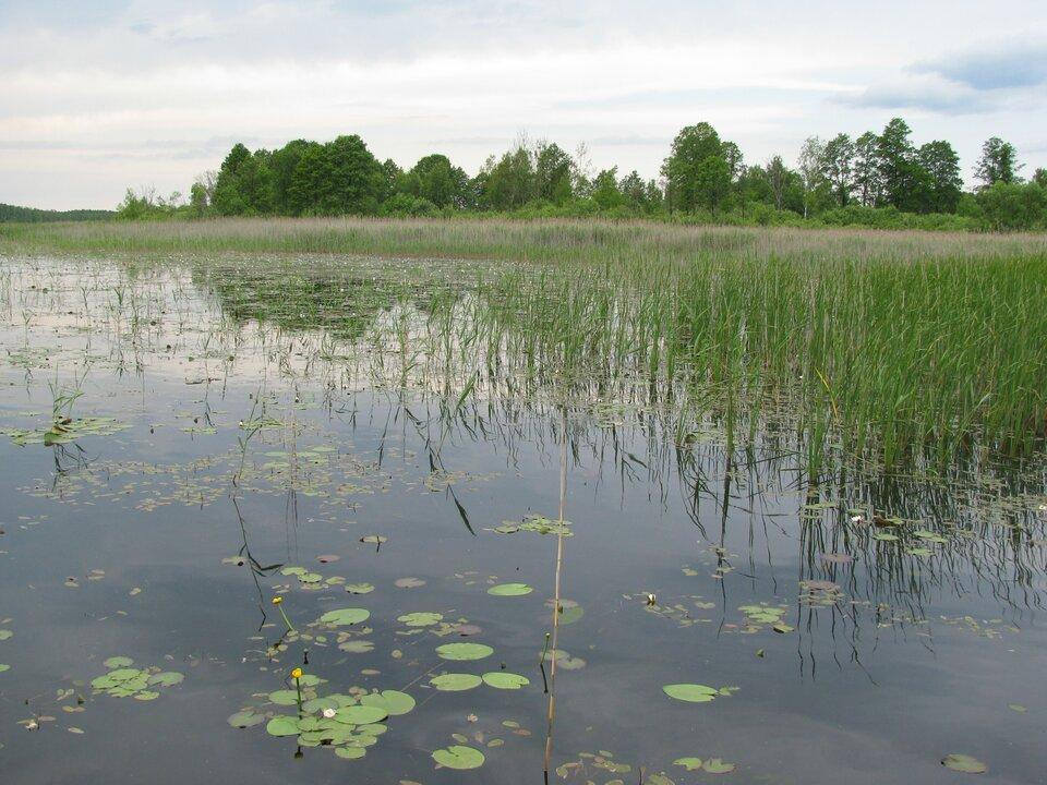 Na zdjęciu jezioro zarośnięte trzciną. Wtle drzewa.