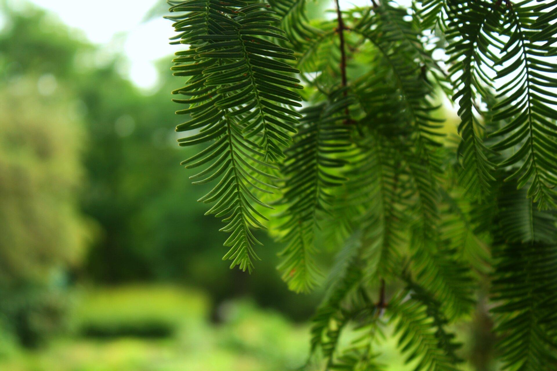 Zdjęcie przedstawia zbliska zwisające gałązki drzewa iglastego na tle rozmytej zieleni drzew. Niska głębia ostrości zdjęcia, tylko kilka gałązek znajdujących się zprzodu wiązki jest wyraźna, reszta pozostaje nieostra. Pogodny dzień, wyraźnie oświetlona roślinność wtle.