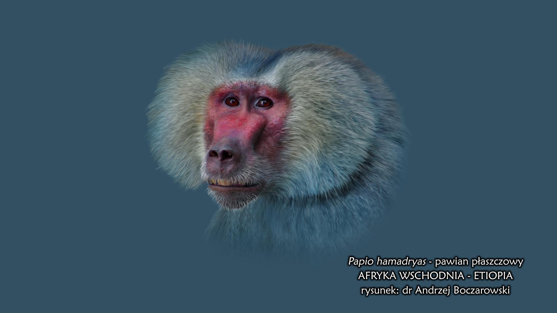 Rysunek przedstawia portret pawiana płaszczowego. Małpa ma wydłużony, czerwony pysk zwyraźnymi, czarnymi nozdrzami izarostem po bokach. Od czoła pawian ma gęstą, szarobrązową grzywę, przykrywającą uszy. Oczy okrągłe, ciemnobrązowe.