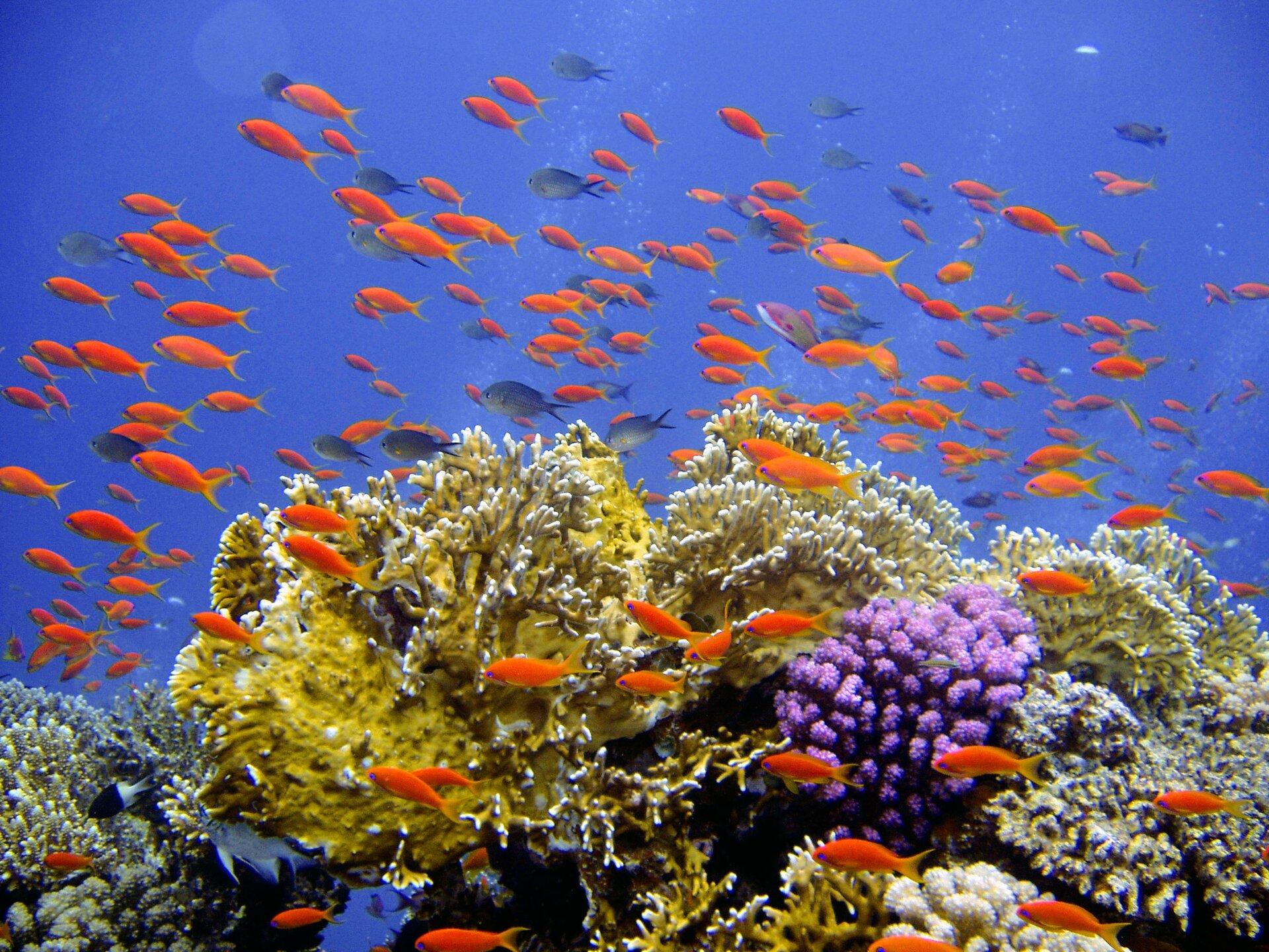 Fotografia prezentuje kolorową rafę koralową składającą się zróżnych organizmów. Organizmy budujące rafę mają barwę: fioletową, żółtą, białą iszarą. Pomiędzy koralami rafy oraz nad nią pływają pomarańczowe ryby. Woda morska jest bardzo dobrze oświetlona ima niebieski kolor..