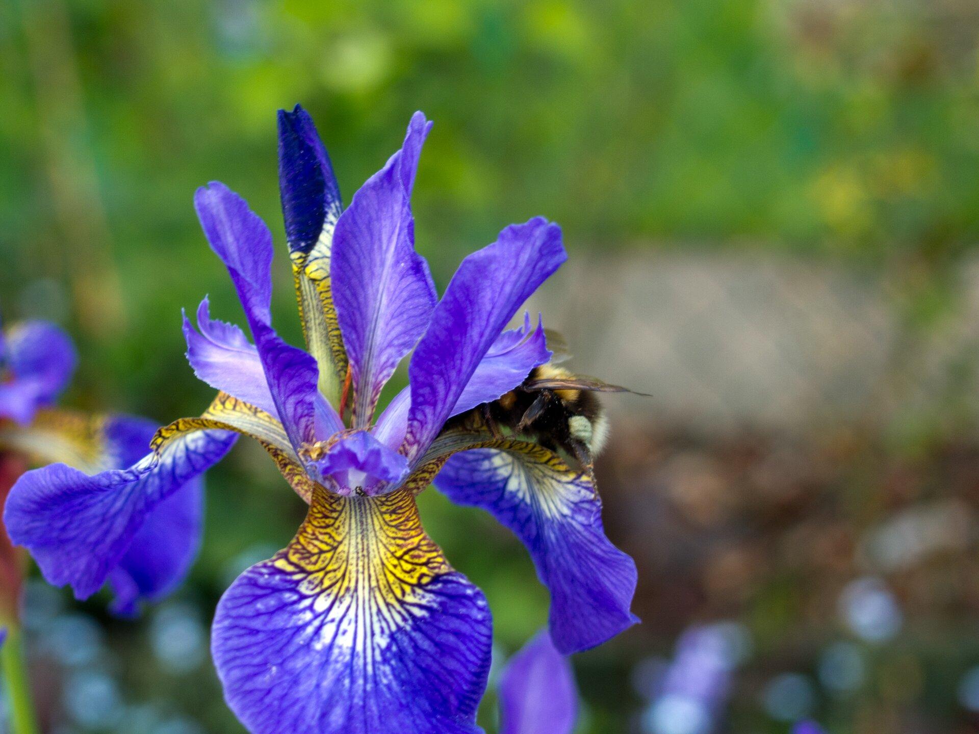 Fotografia przedstawia zbliżenie kwiatu irysa. Ma sześć niebiesko żółtych płatków. Na każdym płatku znajduje się ciemny wzór zlinii ikropek. Jego zadaniem jest zwabienie owadów. Po prawej na płatku siedzi częściowo widoczna pszczoła.