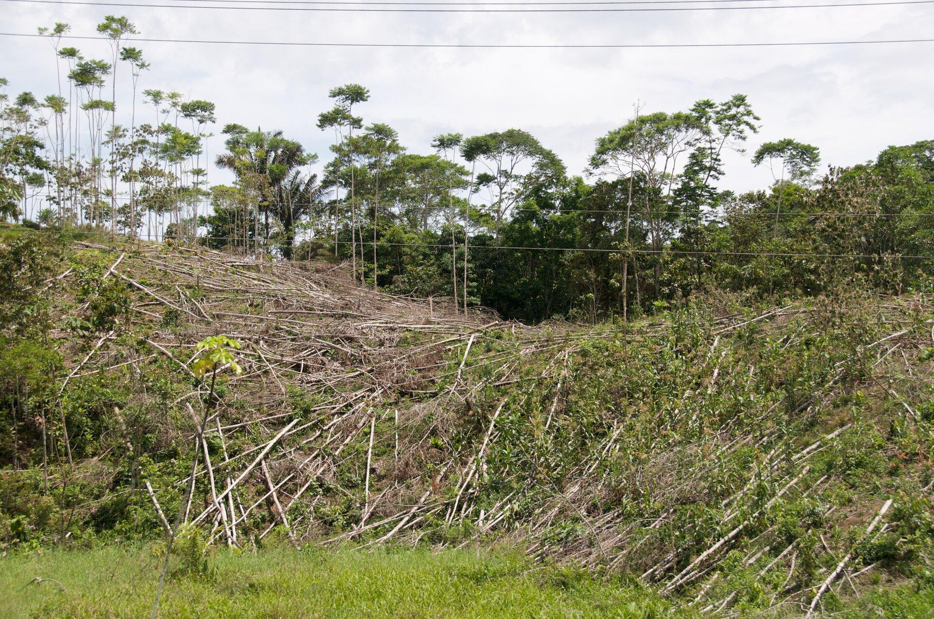 Fotografia prezentuje miejsce wyrębu lasu równikowego. Widoczne wzniesienie pokryte ściętymi pniami drzew.
