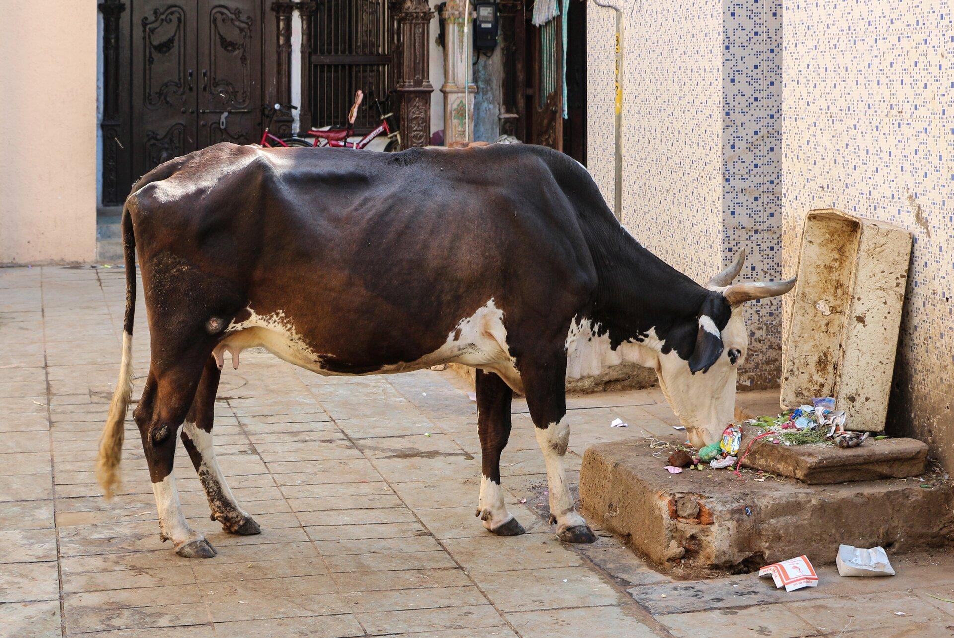 Na zdjęciu biało-czarna chuda krowa zjadająca resztki wyrzucone na ulicę.
