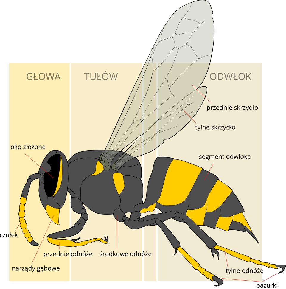 Ilustracja przedstawia schematycznie szaro – żółte ciało owada zgłową wlewo. Pionowe kolorowe prostokąty tła wyznaczają części: głowę, tułów iodwłok. Na głowie czarne duże oko złożone. Pod nim żółte, trójkątne narządy gębowe. Zprzodu czułek zżółtymi segmentami. Ztułowia do góry wyrastają półprzezroczyste skrzydła: przednie itylne. Ztułowia wdół wyrastają 3 odnóża zpazurkami na końcach. Odwłok segmentowany, spiczasto zakończony.