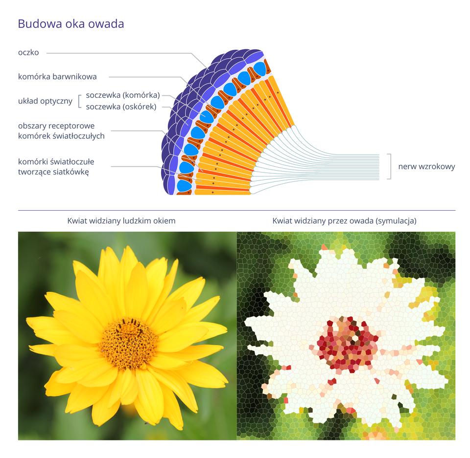 Ilustracja przedstawia schematycznie przekrój przez oko owada oraz dwie fotografie kwiatów. Oko ukazano jako kolorowy wycinek kuli, opisany zlewej. Na powierzchni wycinka małe granatowe romby podpisano jako oczka. Pod nimi niebieski oskórek ibłękitne soczewki wkształcie pestek. Między nimi brązowe komórki barwnikowe. Żółto- pomarańczowy wachlarzyk poniżej to komórki światłoczułe, tworzące siatkówkę. Pęk niebieskich linii, zbiegających się po prawej to nerw wzrokowy. Fotografia zlewej przedstawia na zielonym tle żółty zciemniejszym środkiem kwiat tak, jak widzą go ludzie. Zprawej symulacja obrazu tego samego kwiatu, widzianego przez owada. Składa się zlicznych wielokątów. Zamiast barwy żółtej płatków jest barwa biała. Środek kwiatu składa się zróżowych, bordowych ibrązowych plamek.