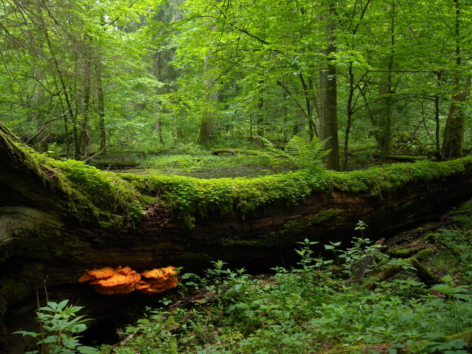 Fotografia przedstawia fragment lasu liściastego. Na pierwszym planie widoczny duży powalony pień drzewa, porośnięty mchami idrobnymi roślinami występującymi wrunie leśnym. Lewą stronę pnia porastają żółte grzyby. Na drugim planie liczne drzewa liściaste.