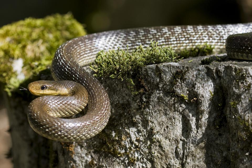 Fotografia przedstawia na skale brązowego węża Eskulapa wpozycji ataku zwysuniętym, rozdwojonym językiem. Jego strefa ochronna wynosi 200 metrów od strefy rozrodu iregularnego przebywania. Wokresie od 1 kwietnia do 30 września obowiązuje zwiększona do 500 metrów częściowa strefa ochronna.