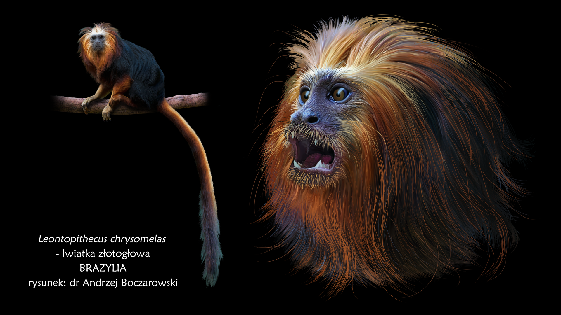 Fotografia siódma prezentuje lwiatkę złotogłową. Małpiatkę niewielkich rozmiarów zdługą grzywą na głowie. Grzywa jest pomarańxzowa, reszta ciała ciemnobrązowa. Ogon długi, zakończony pędzelkiem pomarańczowych włosów.