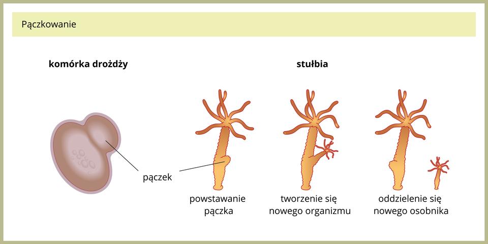 Ilustracja przedstawia porównanie pomiędzy pączkowaniem ujednokomórkowych drożdży iuwielokomórkowych stułbi. Po lewej ukazano komórkę drożdży zpączkiem. Po prawej znajdują się cztery pomarańczowe stułbie. Mają kształt rurki znitkami ugóry. Pierwsza od lewej ma zboku uwypuklenie, czyli pączek. Udrugiej pączek jest wydłużony ima już wyrostki, czyli ramiona. Przy trzeciej stułbi ukazano malutką stułbię potomną, która się oderwała od dużej.